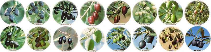 calidad del aceite de oliva según la variedad de aceituna