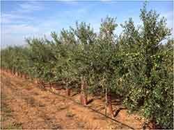 Influencia del riego en la calidad del aceite de oliva