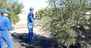 Vareando olivos para recoger las aceitunas