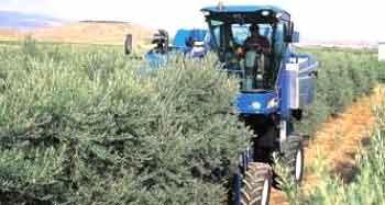 cosechadora de olivos superintensivos